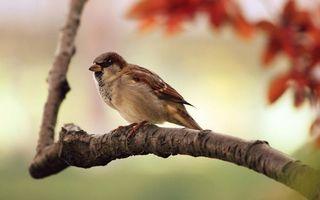 Фото бесплатно воробей, клюв, крылья