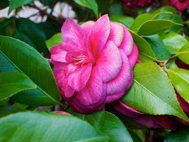 Camellia Japonica, камелия, лепестки, листья, макро