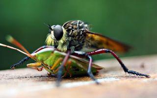 Фото бесплатно муха, клоп, охота