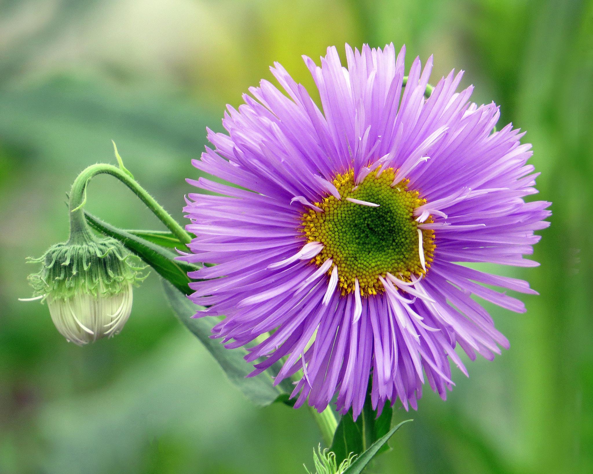 обои блошница дизентерийная, цветок, флора картинки фото