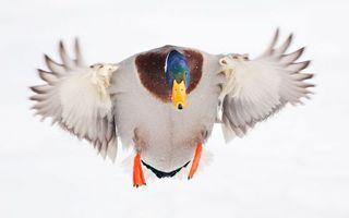 Бесплатные фото селезень,клюв,крылья,перья,лапы,полет