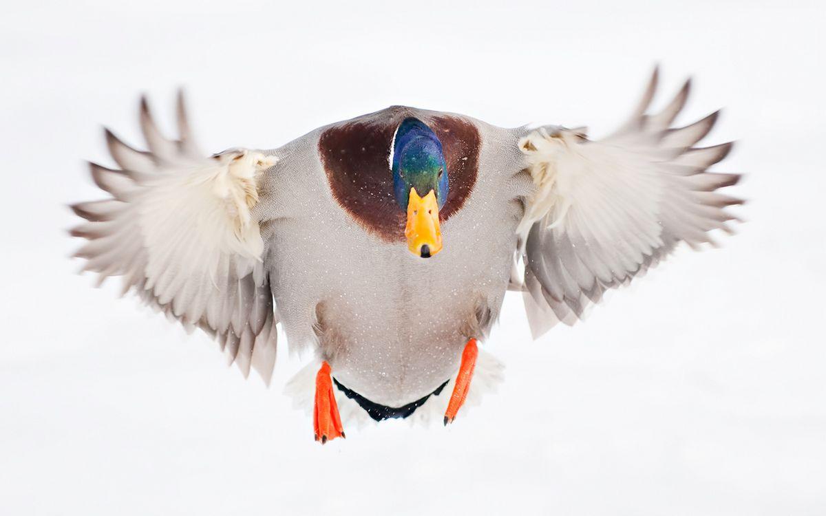 Фото бесплатно селезень, клюв, крылья, перья, лапы, полет, птицы
