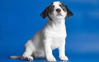 Бесплатные фото щенок,морда,глаза,уши,лапы,хвост,шерсть