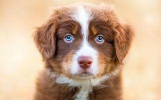 Бесплатные фото щенок,пес,голубые глаза,рыжий,пушистый