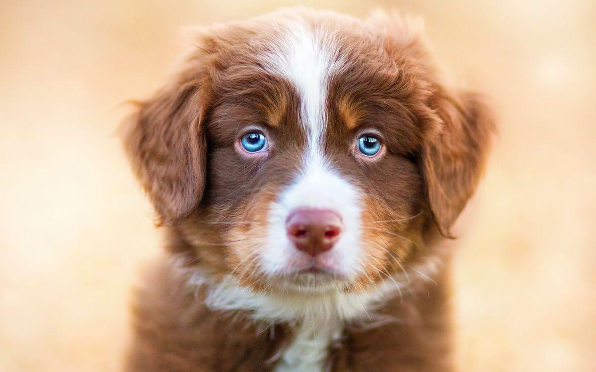 Фото бесплатно щенок, пес, голубые глаза - на рабочий стол