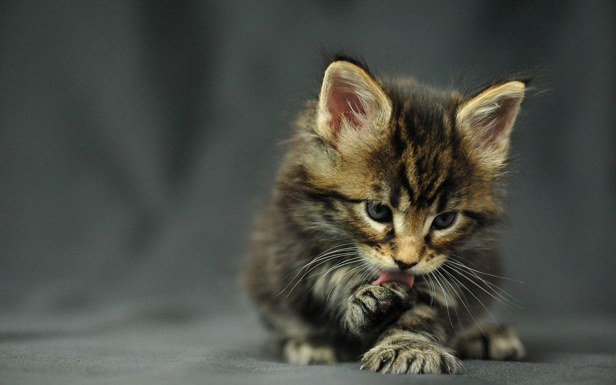 Фото бесплатно котенок, лижет, лапу, моется, морда, шерсть, ситуации