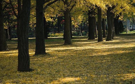 Фото бесплатно стволы, желтые, деревья