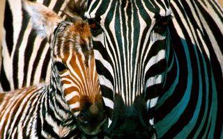 Фото бесплатно зебра, жеребенок, морды