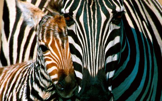 Заставки зебра, жеребенок, морды