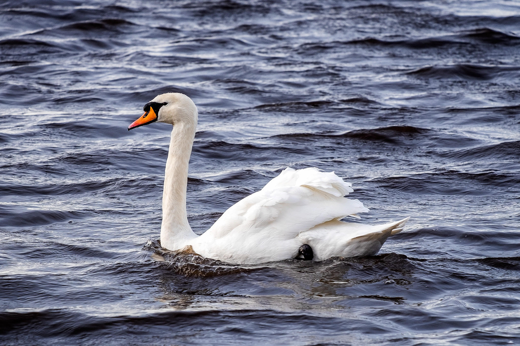 Обои лебедь, белый, водоплавающие птицы