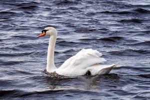 Фото бесплатно лебедь, белый, водоплавающие птицы