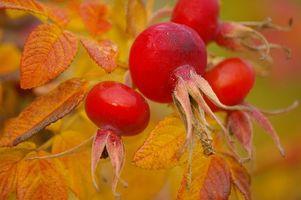 Фото бесплатно осень, шиповник, плоды, листья, макро
