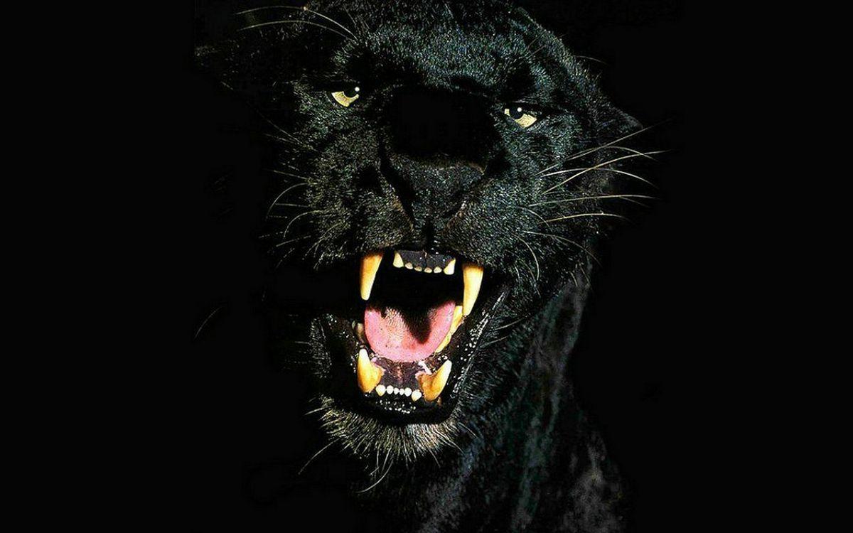 Фото пантера черная оскал - бесплатные картинки на Fonwall