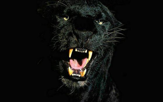 Фото бесплатно пантера, черная, оскал