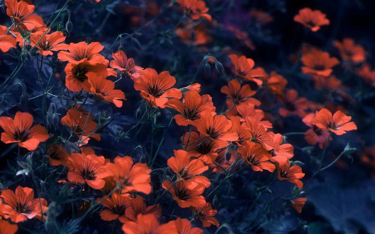 Фото бесплатно цветы, мак, поляна, темнота, цветы