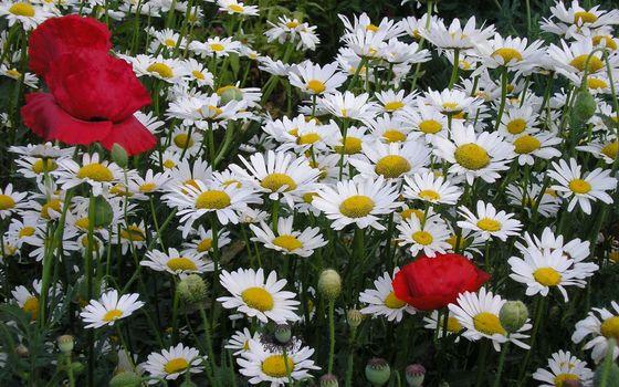 Photo free chamomile, white, poppies