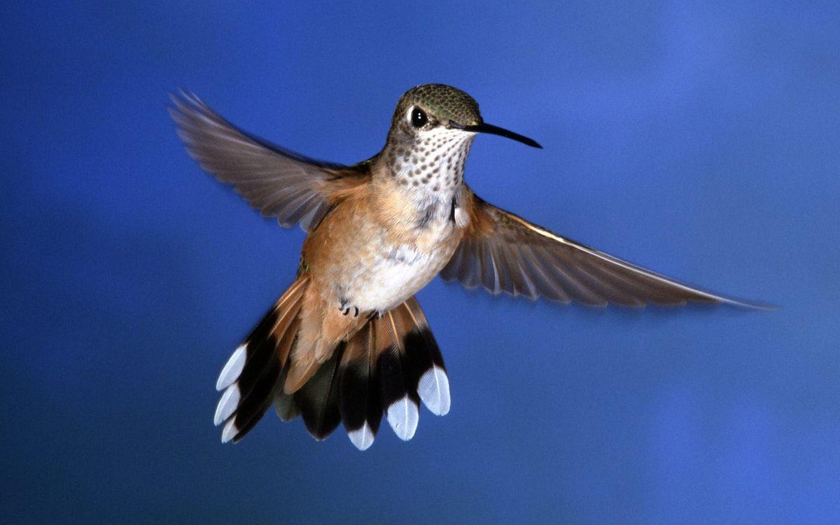 Фото бесплатно колибри, полет, крылья - на рабочий стол