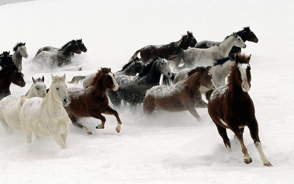 Фото бесплатно кони, лошади, табун, зима, снег, сугробы, животные