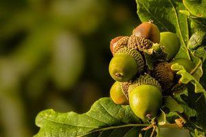 Фото бесплатно жёлуди, листья, макро
