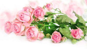 Бесплатные фото розы, розовые, цветы, букет, композиция, белый фон
