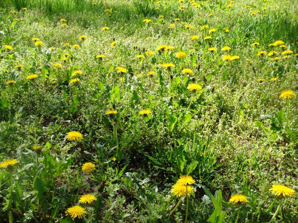 Фото бесплатно поляна, луг, трава, зеленая, одуванчики, желтые, природа