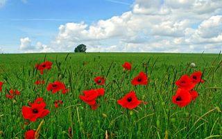 Заставки поле,трава,зеленая,цветы,маки,красные,дерево