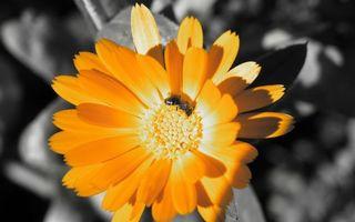 Бесплатные фото цветок,оранжевый,лепестки,тычинки,пчела,крылья,лапки