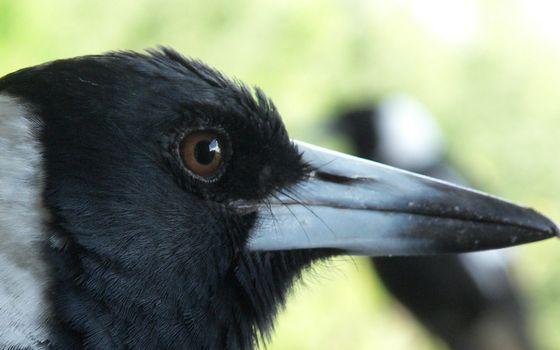 Бесплатные фото ворон,глаз,глюв,перья,черные,голова