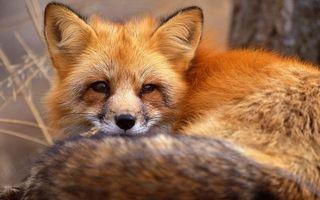 Фото бесплатно лиса, рыжая, морда, уши, хвост, шерсть