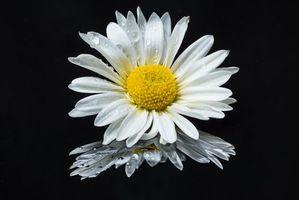 Бесплатные фото ромашка,чёрный фон,цветок,флора