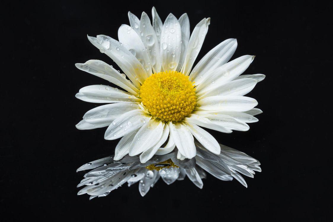 Обои ромашка, чёрный фон, цветок, флора на телефон | картинки цветы - скачать