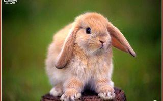 Заставки кролик, декоративный, глаза, уши, лапы, шерсть, пенек