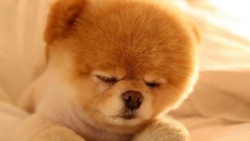 Фото бесплатно шпиц, стриженный, спит
