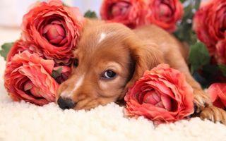 Фото бесплатно щенок, рыжий, морда, глаза, лапы, цветы