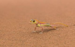 Бесплатные фото ящерица,геккон,морда,лапы,хвост,песок