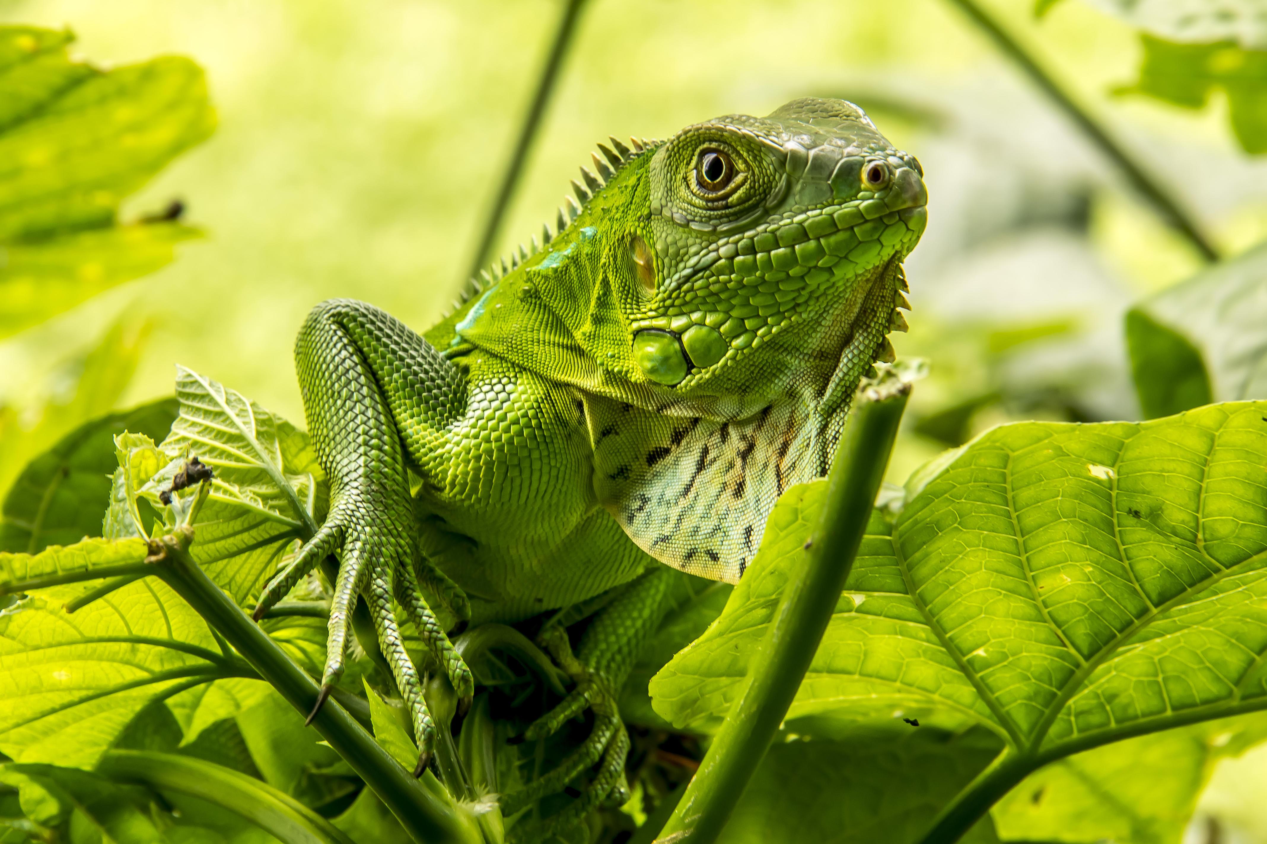 Обои Игуана, Iguana, ящерица, относится к классу Пресмыкающиеся
