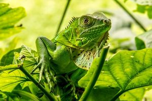 Фото бесплатно Игуана, Iguana, ящерица