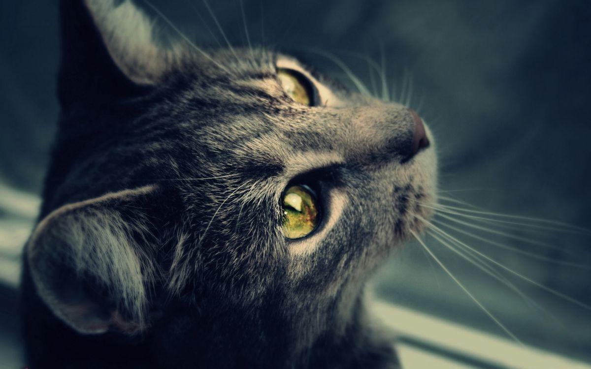 Фото бесплатно кошка, серая, морда, шерсть, глаза, отражение, кошки
