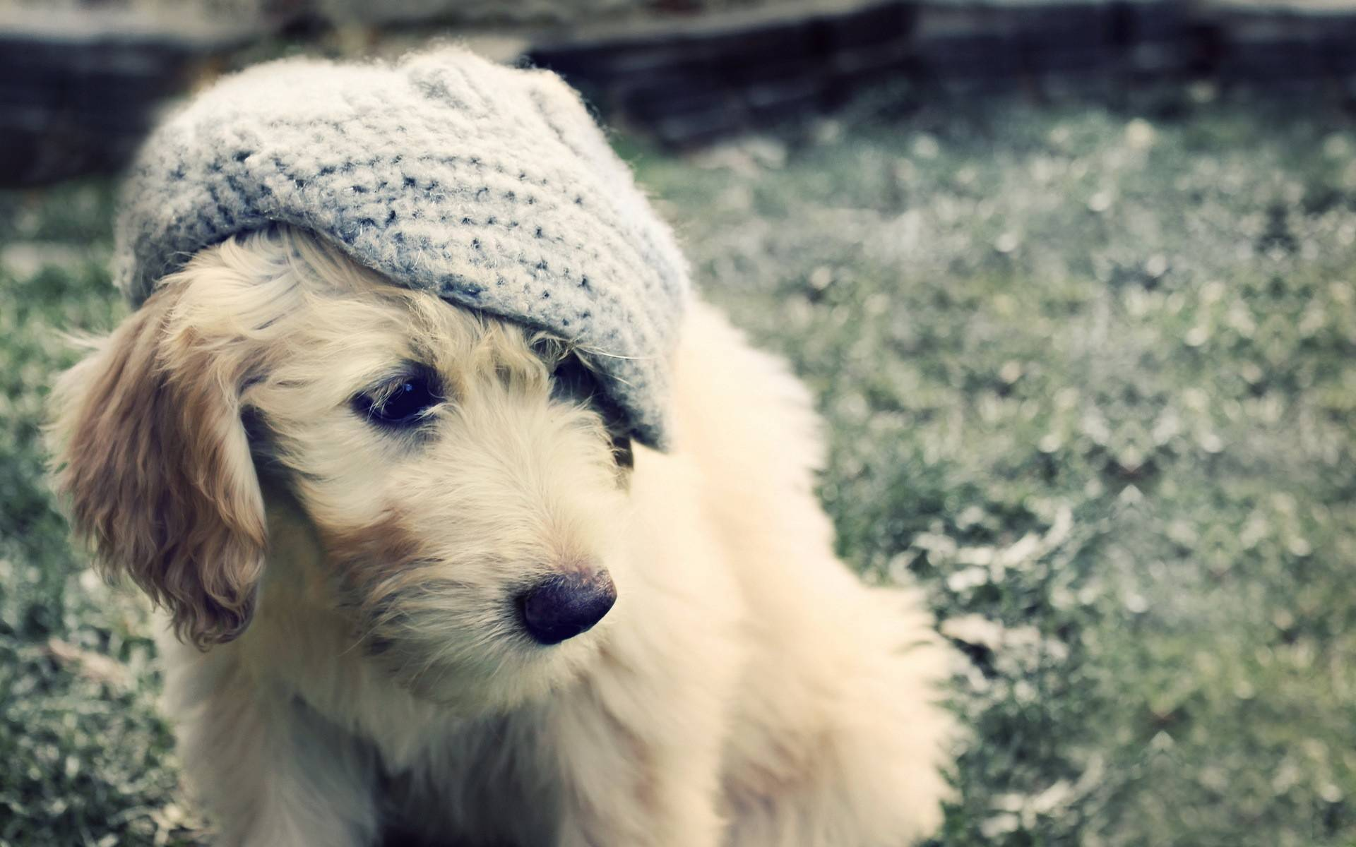 Обои пес, морда, кепка, ухо