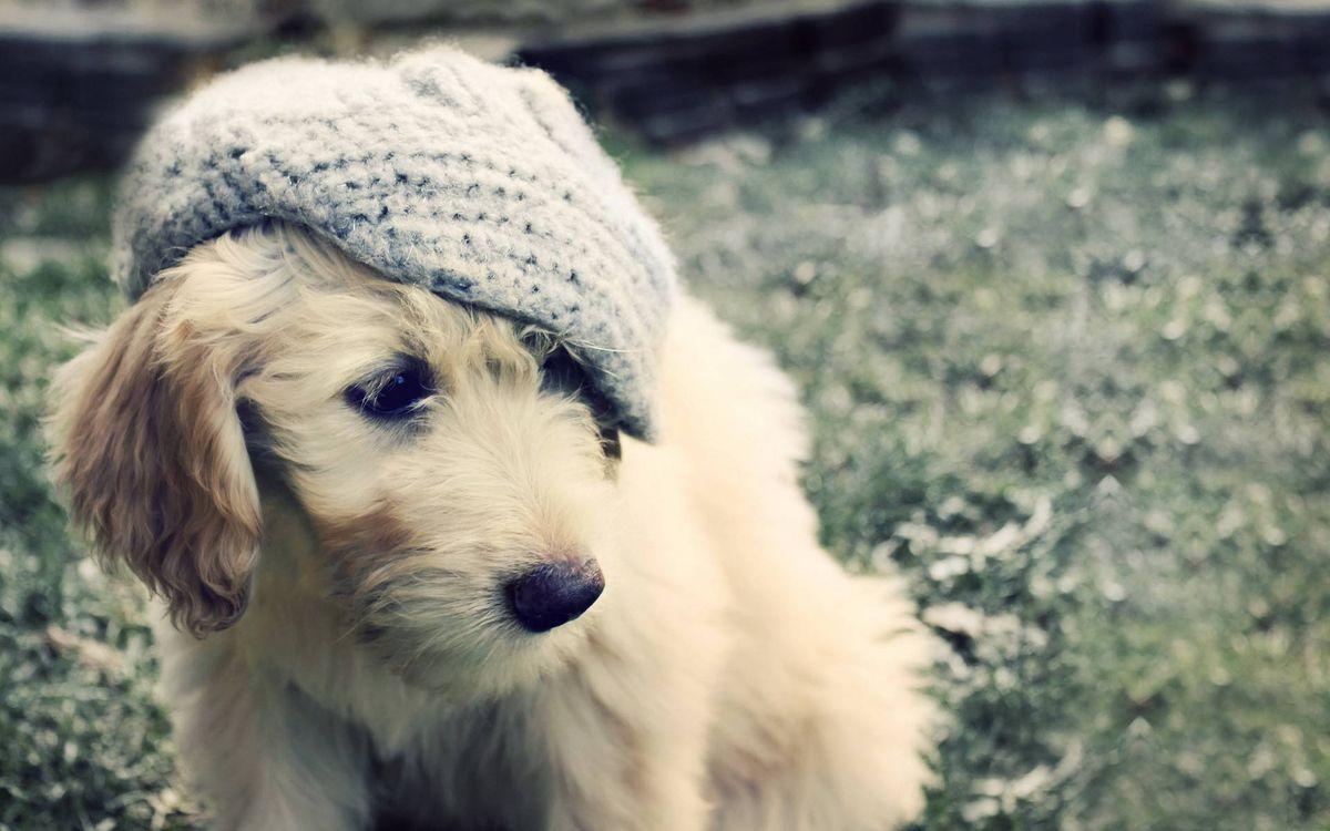 Фото бесплатно пес, морда, кепка, ухо, шерсть, шапка, собаки