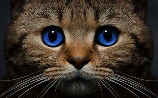 Заставки кот, голубые глаза, морда