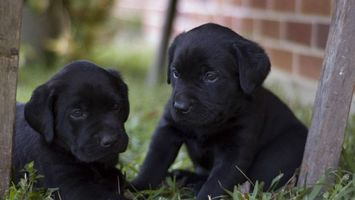 Photo free puppies, black, muzzles