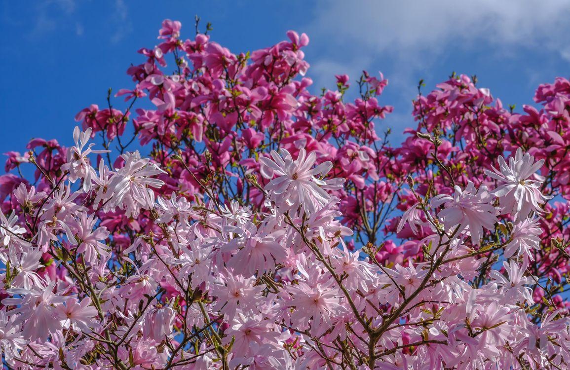 Фото бесплатно весна, магнолия, деревья, цветы