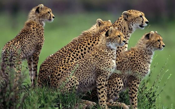 Photo free cheetahs, family, mother