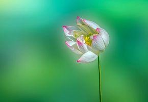 Бесплатные фото Lotus, flower, ЛОТУС, ЦВЕТОК, МАКРО