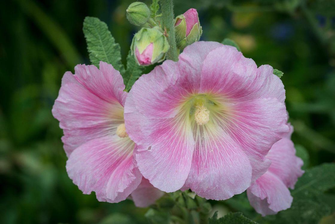 Фото бесплатно розовый, мальва, макро, цветы