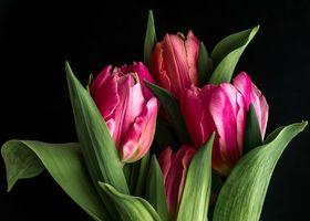 Фото бесплатно Цветок, тюльпан, чёрный фон