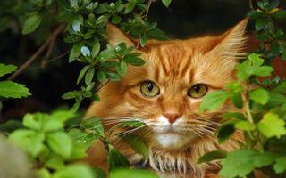 Бесплатные фото кот,рыжий,морда,уши,шерсть,ветви,листья