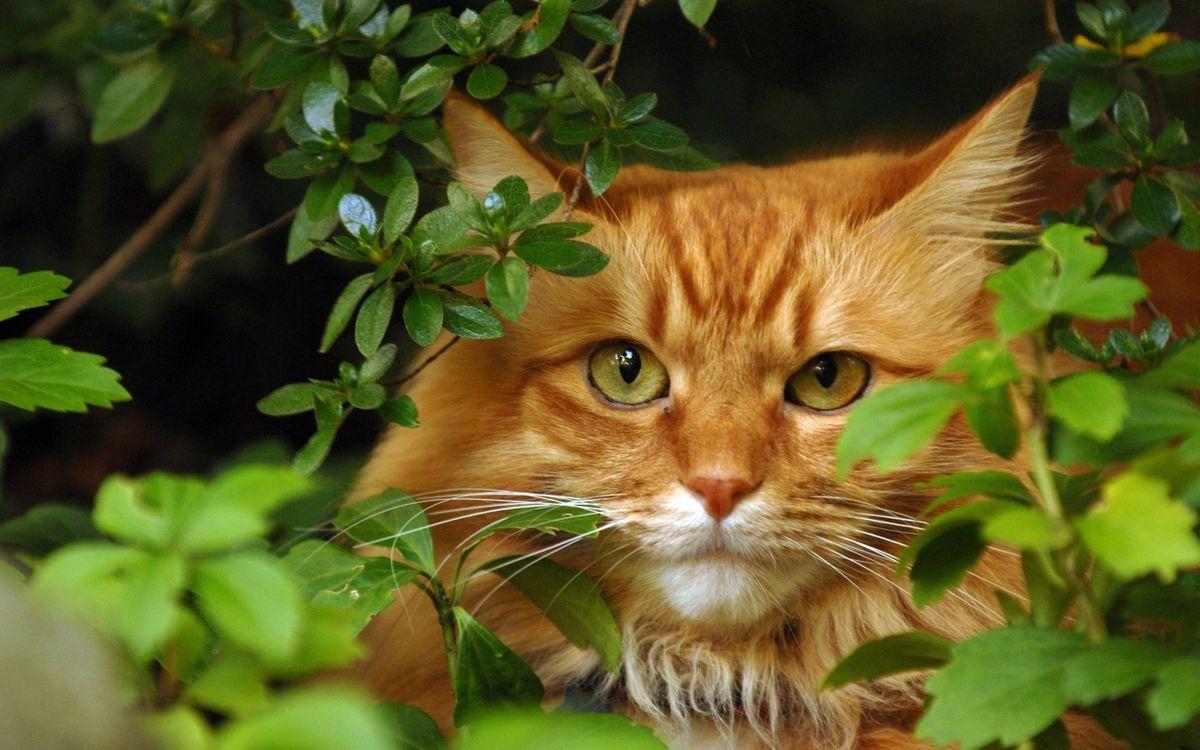 Фото бесплатно кот, рыжий, морда, уши, шерсть, ветви, листья, кошки