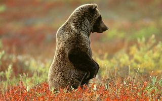 Фото бесплатно медведь, бурый, стойка